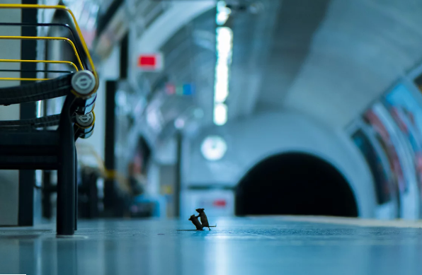 Imagen épica de ratones peleando en la plataforma de metro de Londres gana concurso de fotografía