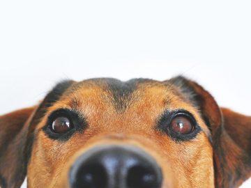 scooting de perro embarazada