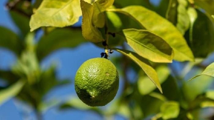 Sembrar árbol de limón