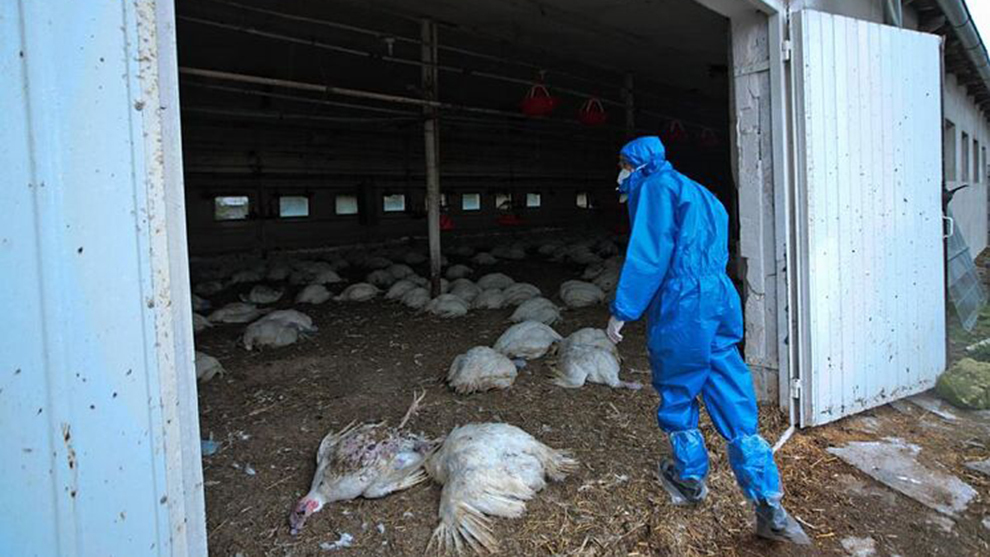 se detecta en rusia la gripe aviar