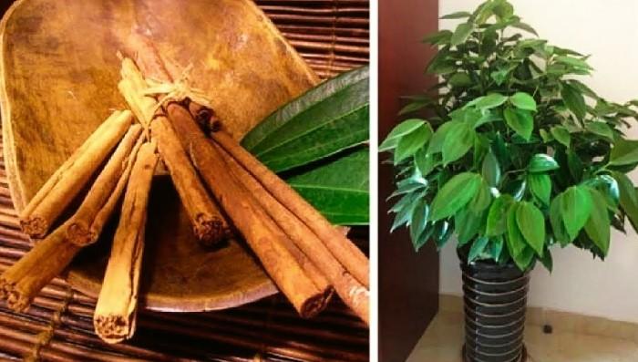 cultivar canela